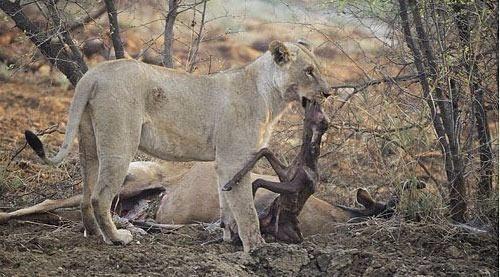 Avının hamile olduğunu farkeden aslan bakın ne yaptı galerisi resim 10