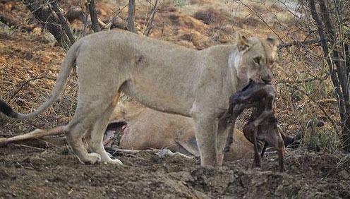 Avının hamile olduğunu farkeden aslan bakın ne yaptı galerisi resim 11