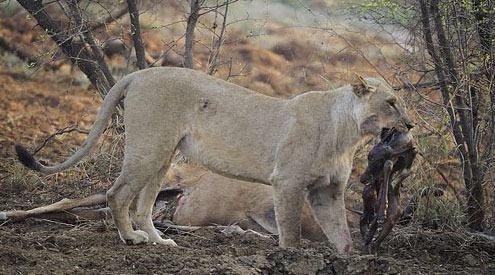 Avının hamile olduğunu farkeden aslan bakın ne yaptı galerisi resim 12