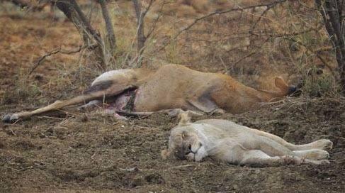 Avının hamile olduğunu farkeden aslan bakın ne yaptı galerisi resim 13