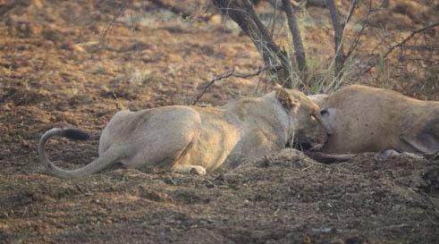 Avının hamile olduğunu farkeden aslan bakın ne yaptı galerisi resim 2