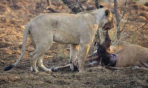 Avının hamile olduğunu farkeden aslan bakın ne yaptı galerisi resim 5