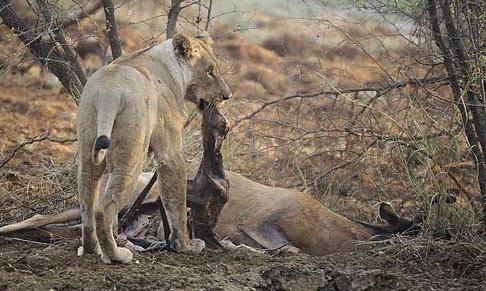 Avının hamile olduğunu farkeden aslan bakın ne yaptı galerisi resim 9