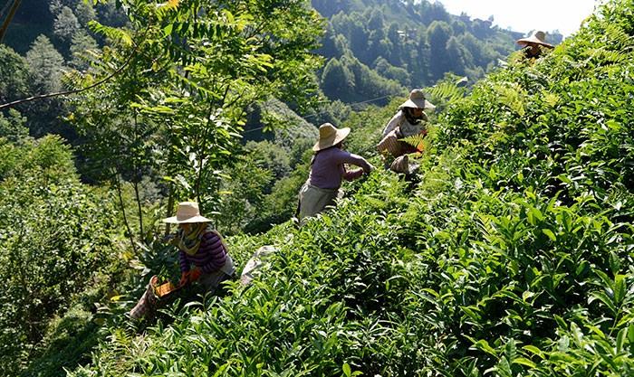 Çayın zorlu yolculuğu galerisi resim 2