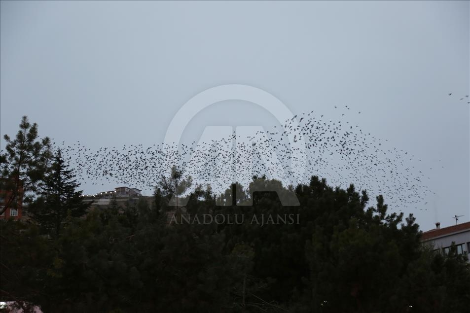 Sığırcık kuşlarından görsel şölen galerisi resim 5