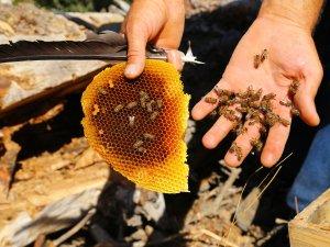 Arıların izini sürerek bala ulaşıyor