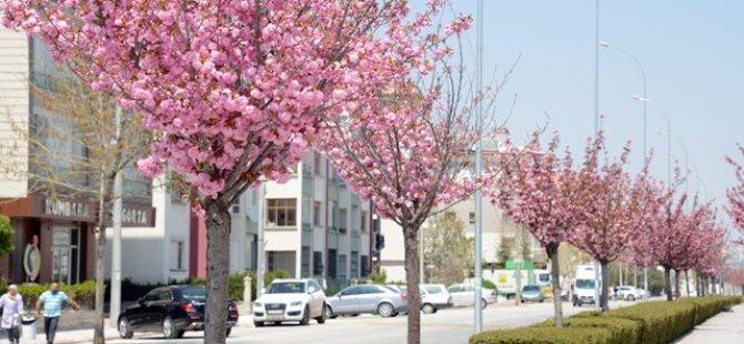Sakuralar Şehre Renk Katıyor