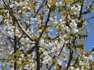 Kiraz ağaçlarında don zarar oranı tespit ediliyor