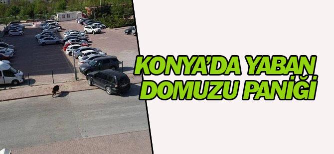 Konya'da yaban domuzu paniği!