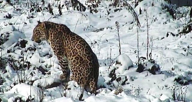 Putin'in leoparı doğaya salındı