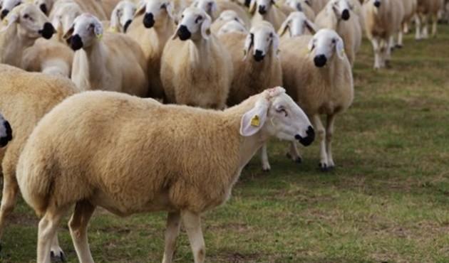 """""""300 koyun projesi""""nde başvurular sona eriyor"""