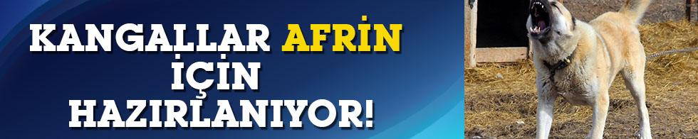 Kangallar Afrin için hazırlanıyor!