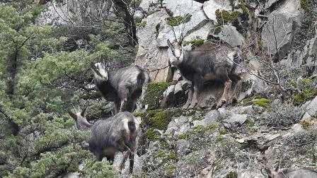 Çengel boynuzlu dağ keçisi sayısı artıyor