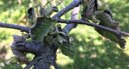 Fındık bahçelerindeki yeni tehlikenin ne olduğu açıklandı: 'Bakteriyel Yanıklık Hastalığı'