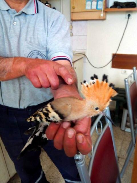 Yaralı ibibik kuşu, koruma altına alındı