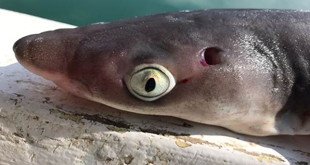 Oltaya takılan köpek balığı korkuttu