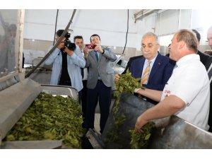 """""""Organik çayımız dünyada marka olarak değerini bulacaktır"""""""
