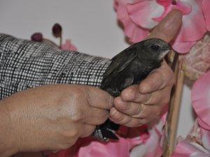 Akşehir'de ebabil kuşu bulundu