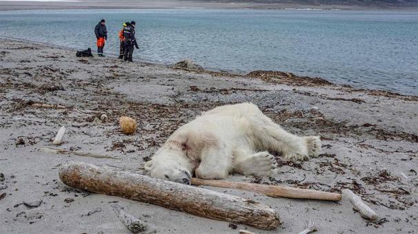 Norveç'te turistik gezi vahşete dönüştü: Kutup ayısı öldürüldü