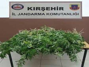 Kırşehir'de 110 kök Hint keneviri ele geçirildi