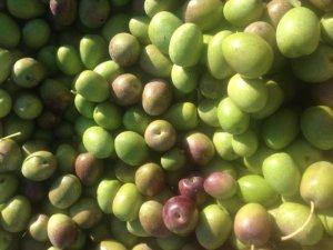 Didim'de yerli pamuk ekiminden olumlu sonuç alındı