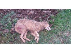 Aç kalan kurt, köye kadar indi