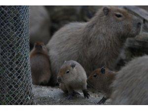 Bursa Hayvanat Bahçesi'nde yavru kapibara heyecanı
