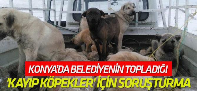 Belediyenin Topladığı 'Kayıp Köpekler' İçin Soruşturma