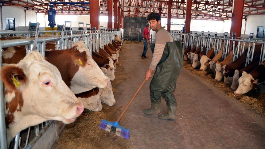 """Hayvancılıkta """"elektronik küpe"""" hazırlığı"""