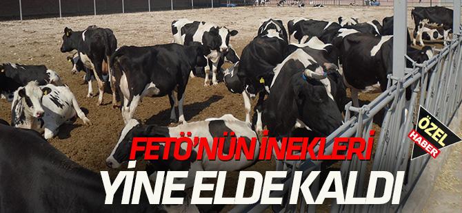 FETÖ'nün inekleri yine elde kaldı