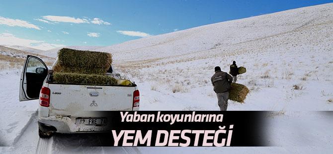 Anadolu yaban koyunlarına yem desteği