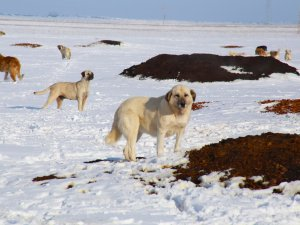 Sahipsiz köpeklerin yaşam mücadelesi