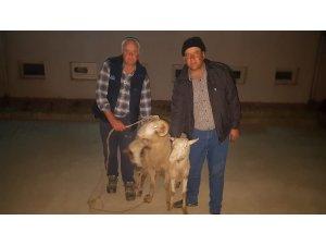 Çalınan koyunlar Buca'da bulundu