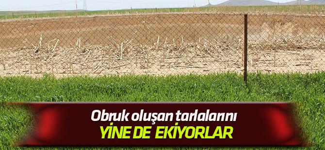 Obruk oluşan tarlalarını yine ekiyorlar