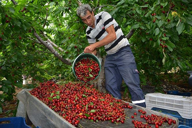 Hadim'de geç hasat kirazının yüzde 90'ı ihracata gidiyor