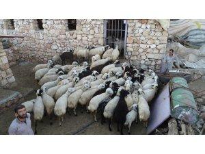 Diyarbakırlı besiciler kurbanlık hazırlıklarına devam ediyor