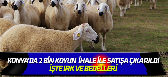 Konya'da TİGEM'den koyun satış ihalesi
