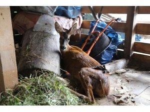 Artvin'de yaralı karaca koruma altına alındı