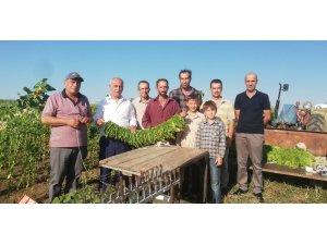 Bafralı tütün üreticileri destek bekliyor