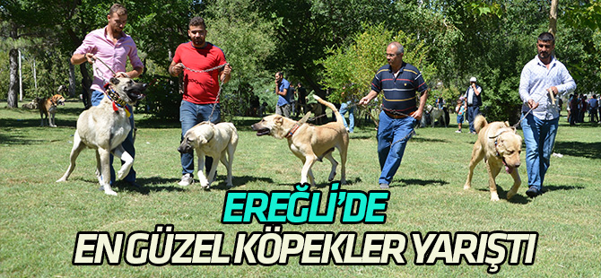 Ereğli'de Türk en güzel  köpekler yarıştı