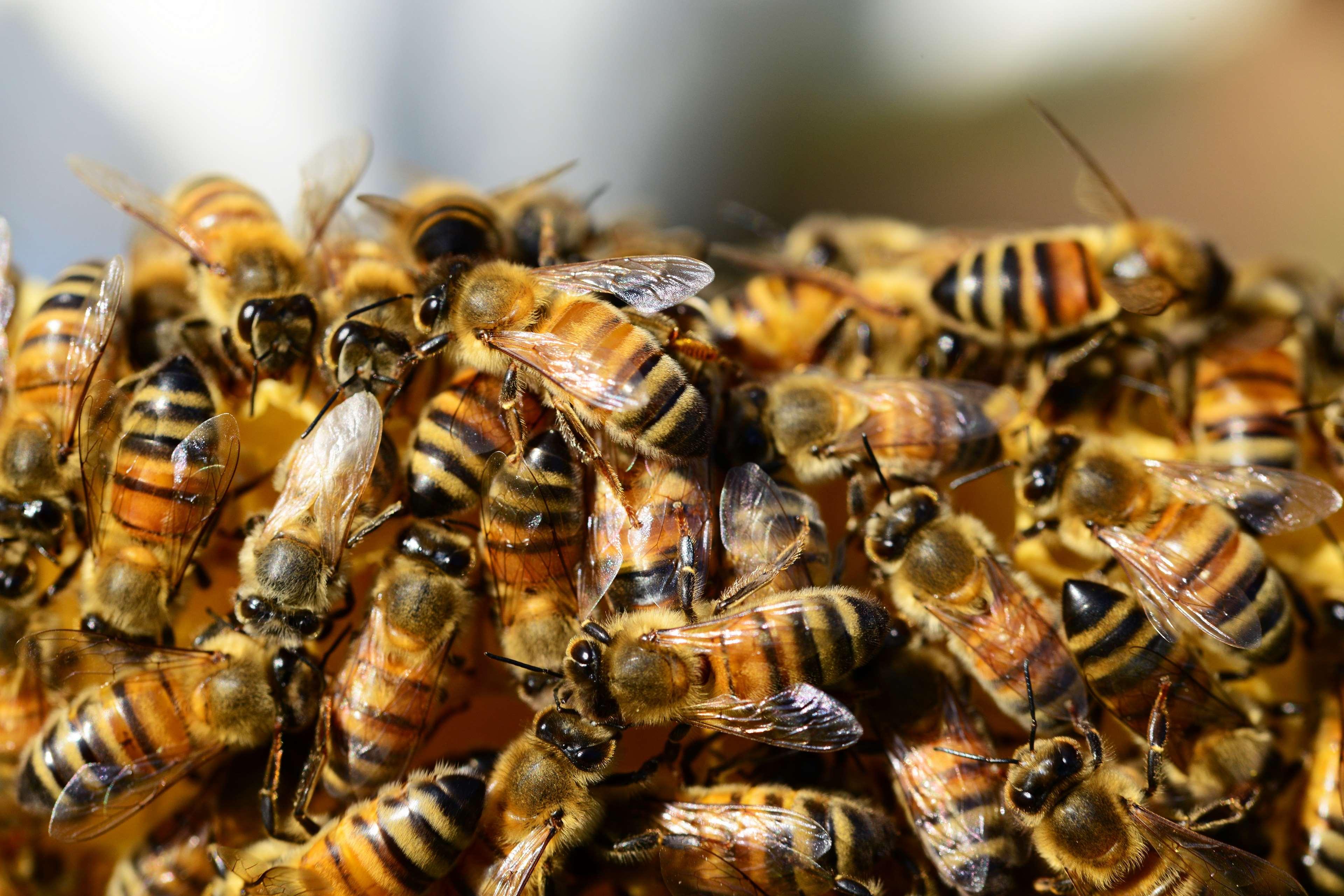 Arılar tarım işçilerine saldırdı: 19 yaralı