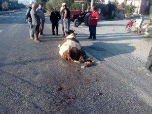 Beyşehir'de hafriyat kamyonu yola çıkan ineğe çarptı