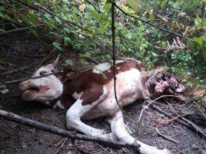 Kastamonu'da ayı saldırısına uğrayan büyükbaş hayvan telef oldu