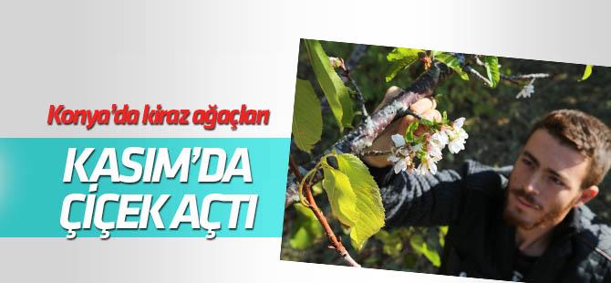 Konya Hadim'de kiraz ağaçları çiçek açtı