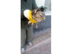 Konya'da yaralı halde bulunan şahin tedaviye alındı