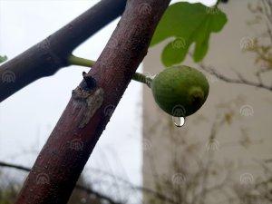 İncir ve dut ağaçları kışın meyve verdi