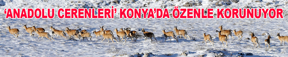 """""""Anadolu cerenleri"""" Konya'da yarım asırdır özenle korunuyor"""