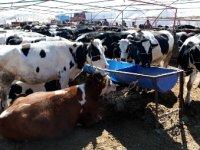 """Büyükbaş hayvancılık yatırımında """"süper teşvik""""in detayları belli oldu"""