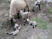 1 Koyun beşiz doğurdu
