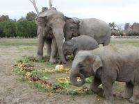 6 yaşındaki sevimli fil 'İzmir' 2.5 ton ağırlığa ulaştı